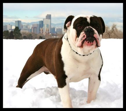 Aninimal Book: Top Male Black Seal Bulldogge Male/ Healthy Bulldogge ...