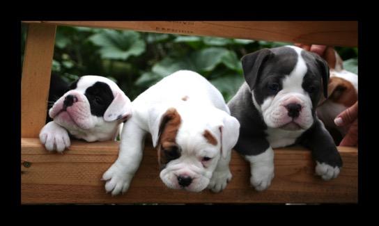 Olde English Bulldogge Puppies For Salebulldogge Breederbulldogge